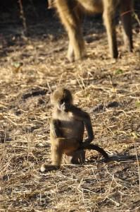 baboon-61680_640