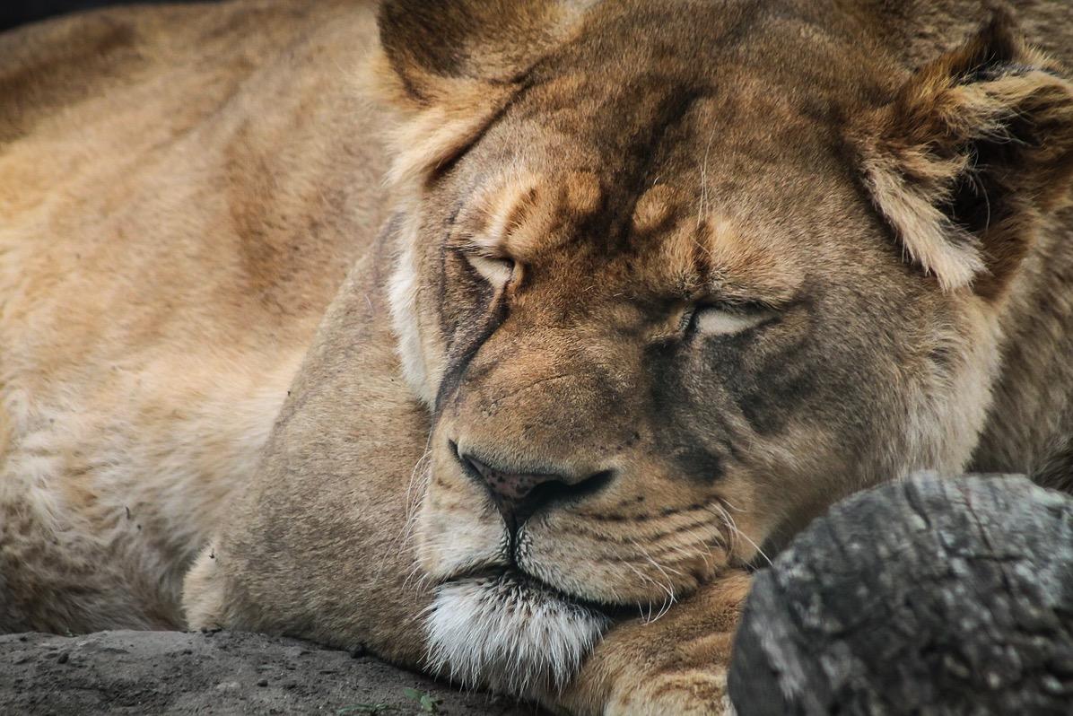 Lion 721128 1280